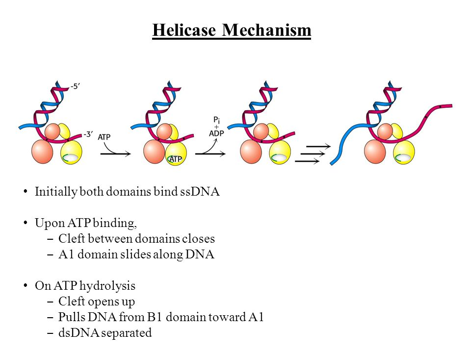Initially both domains bind ssDNA Upon ATP binding, Cleft between domains closes A1 domain slides along DNA On ATP hydrolysis Cleft opens up Pulls DNA