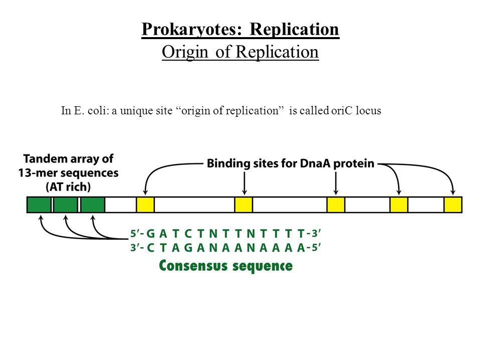 In E. coli: a unique site origin of replication is called oriC locus Prokaryotes: Replication Origin of Replication