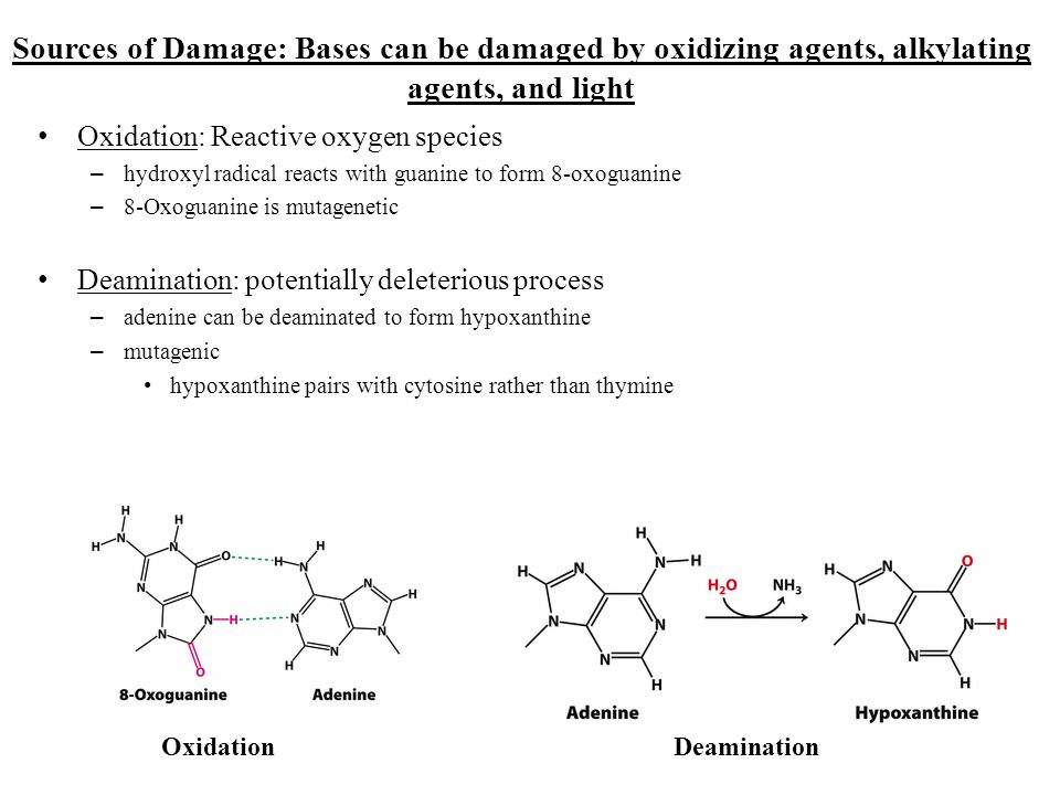 Sources of Damage: Bases can be damaged by oxidizing agents, alkylating agents, and light Oxidation: Reactive oxygen species – hydroxyl radical reacts
