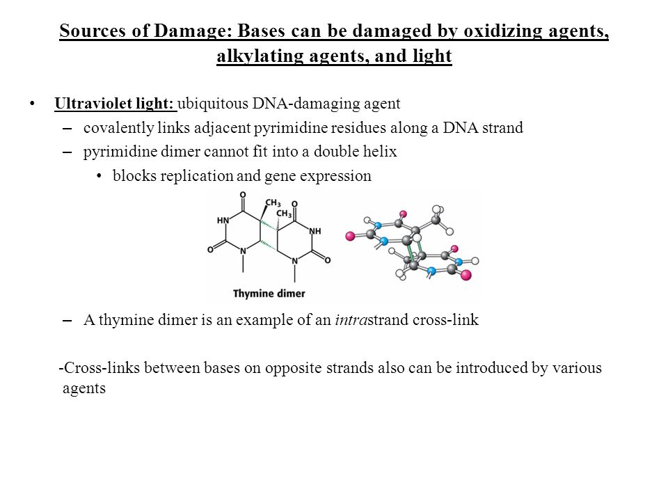 Sources of Damage: Bases can be damaged by oxidizing agents, alkylating agents, and light Ultraviolet light: ubiquitous DNA-damaging agent – covalentl