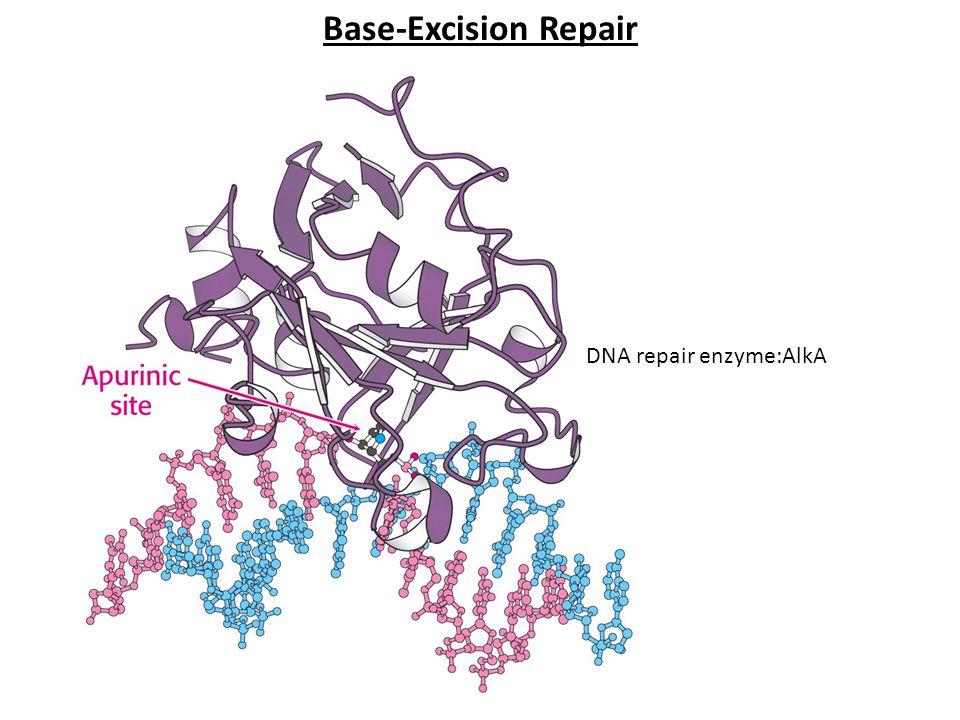DNA repair enzyme:AlkA Base-Excision Repair