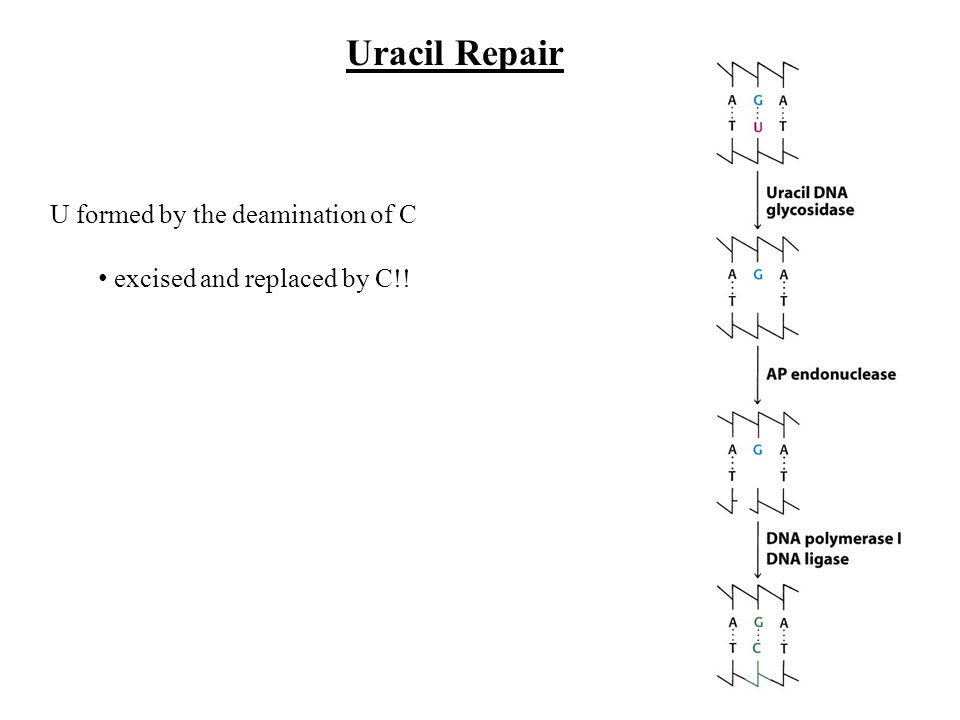 U formed by the deamination of C excised and replaced by C!! Uracil Repair