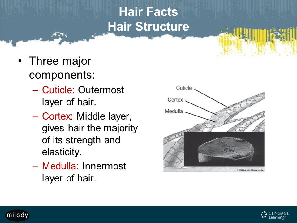 Hair Facts Hair Structure Three major components: –Cuticle: Outermost layer of hair.
