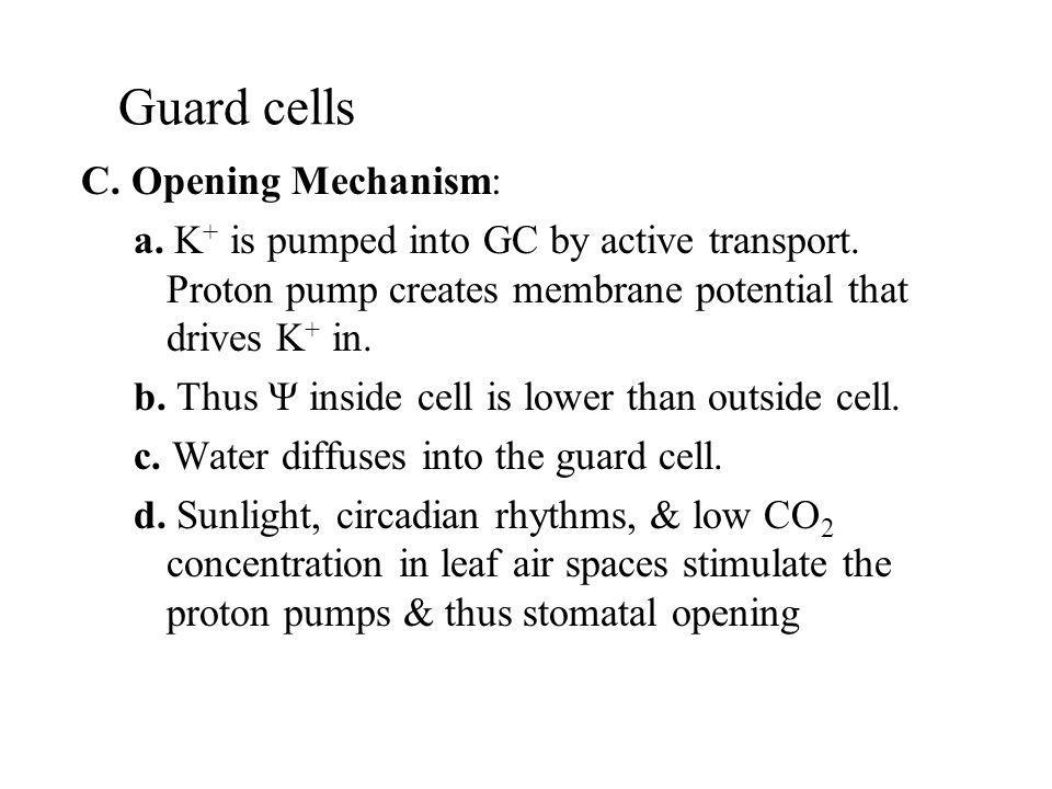 Guard cells C. Opening Mechanism: a. K + is pumped into GC by active transport. Proton pump creates membrane potential that drives K + in. b. Thus Ψ i