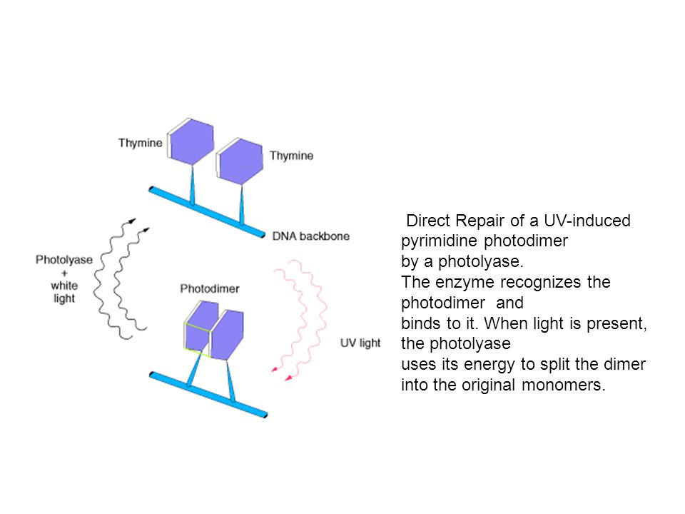 Direct Repair of a UV-induced pyrimidine photodimer by a photolyase. The enzyme recognizes the photodimer and binds to it. When light is present, the