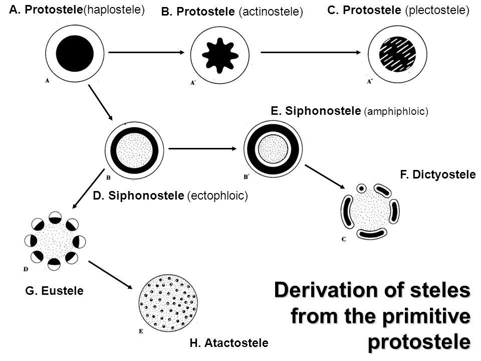 A. Protostele(haplostele) B. Protostele (actinostele) C. Protostele (plectostele) D. Siphonostele (ectophloic) E. Siphonostele (amphiphloic) F. Dictyo