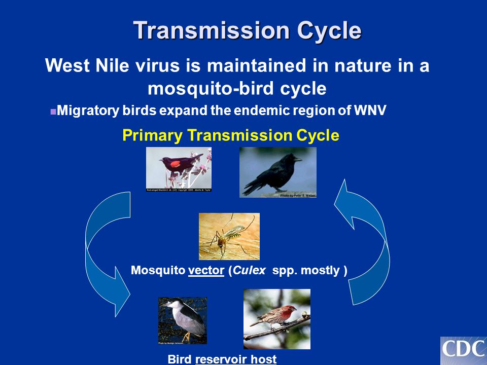 Transmission Cycle Incidental Infection Humans Other mammals Incidental infections occur when infected mosquitoes feed on humans or other animals.