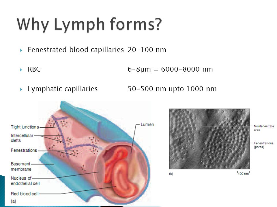 Fenestrated blood capillaries20-100 nm RBC6-8μm = 6000-8000 nm Lymphatic capillaries50-500 nm upto 1000 nm