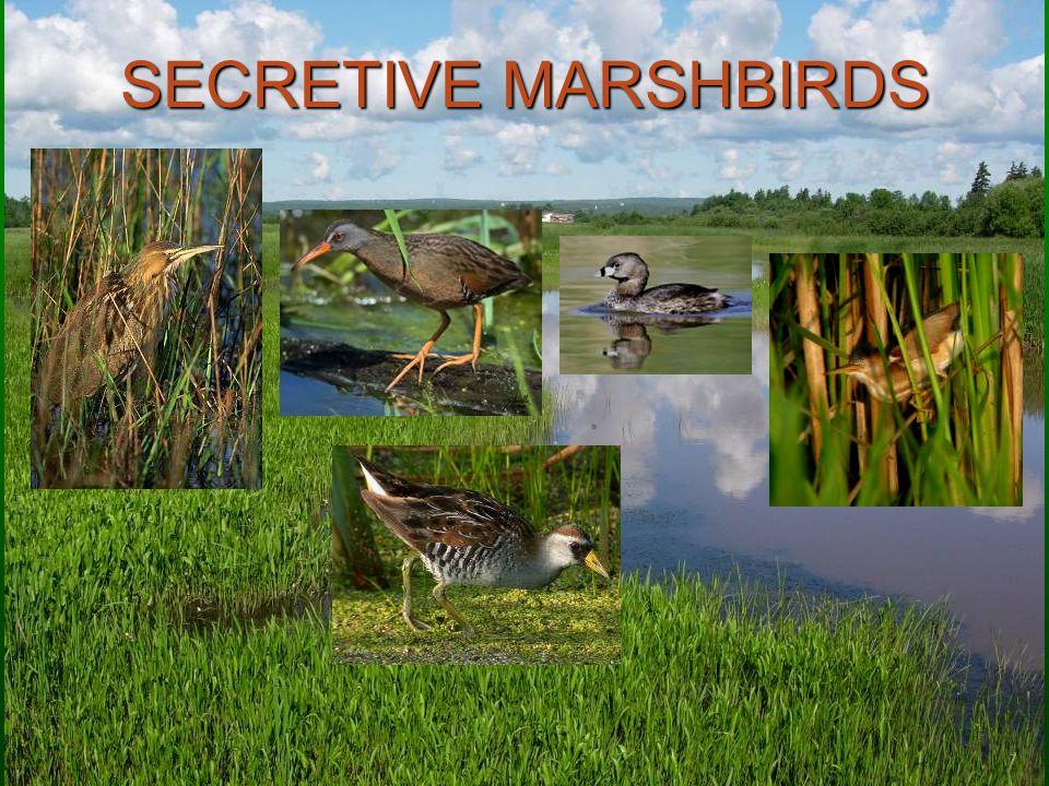 SECRETIVE MARSHBIRDS