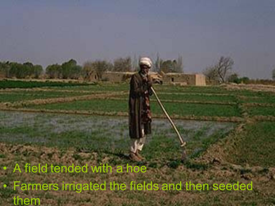 A field tended with a hoe Farmers irrigated the fields and then seeded them