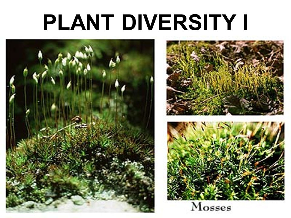 YOU MUST KNOW… WHY LAND PLANTS ARE THOUGHT TO HAVE EVOLVED FROM GREEN ALGAE SOME OF THE DISADVANTAGES AND ADVANTAGES OF LIFE ON LAND THAT PLANTS HAVE A UNIQUE LIFE CYCLE TERMED ALTERNATION OF GENERATIONS WITH A GAMETOPHYTE GENERATION AND A SPOROPHYTE GENERATION