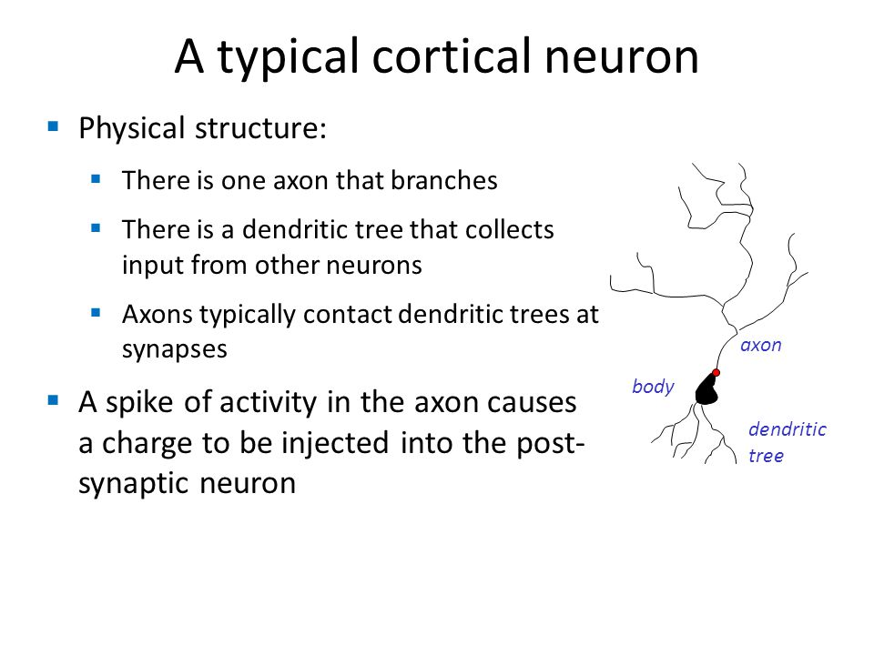 A typical cortical neuron Physical structure: There is one axon that branches There is a dendritic tree that collects input from other neurons Axons typically contact dendritic trees at synapses A spike of activity in the axon causes a charge to be injected into the post- synaptic neuron axon body dendritic tree