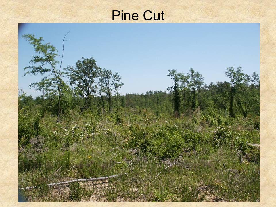 Pine Cut