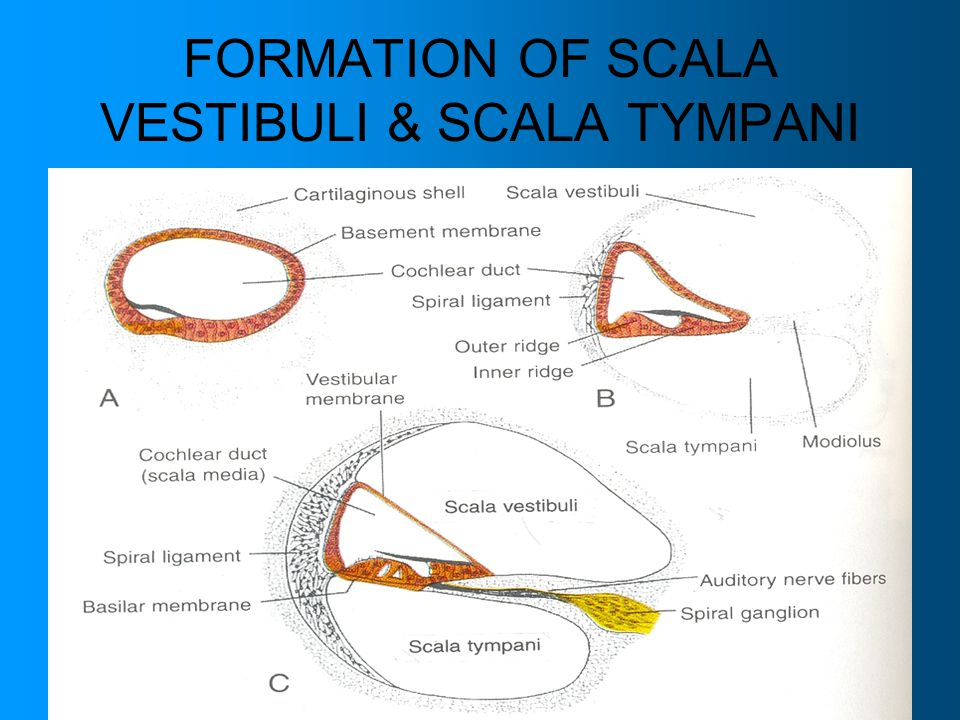 FORMATION OF SCALA VESTIBULI & SCALA TYMPANI