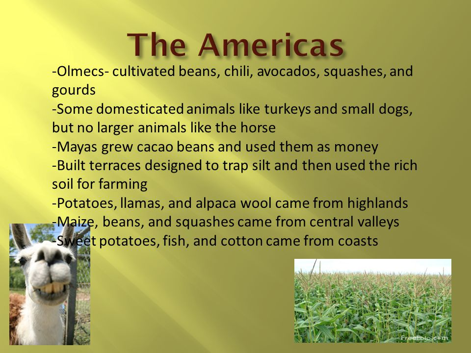 -Olmecs- cultivated beans, chili, avocados, squashes, and gourds -Some domesticated animals like turkeys and small dogs, but no larger animals like the horse -Mayas grew cacao beans and used them as money -Built terraces designed to trap silt and then used the rich soil for farming -Potatoes, llamas, and alpaca wool came from highlands -Maize, beans, and squashes came from central valleys -Sweet potatoes, fish, and cotton came from coasts