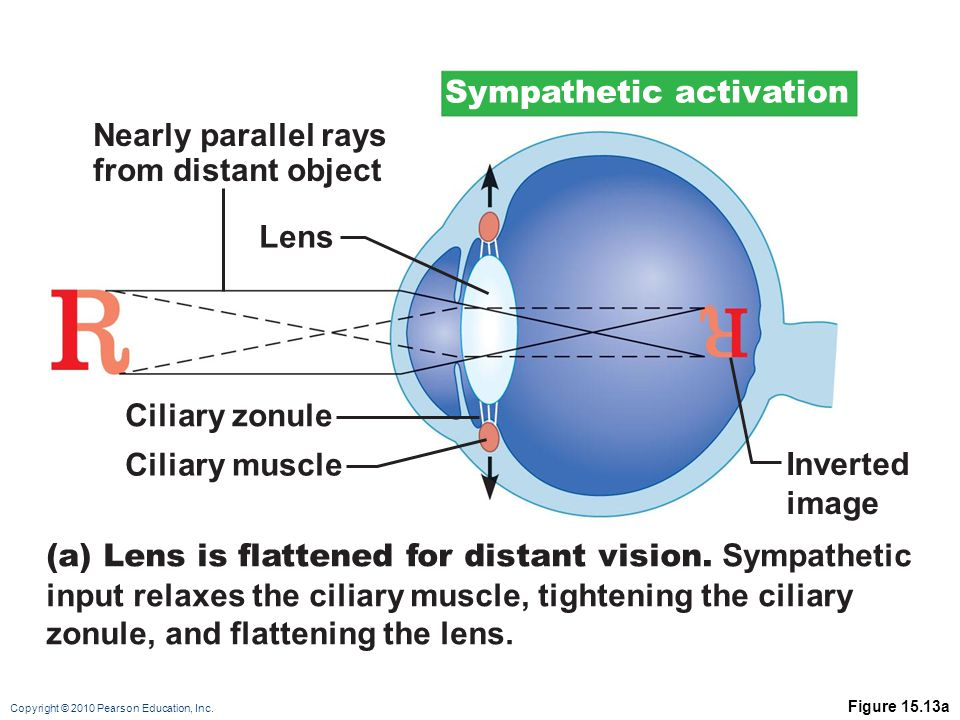 Copyright © 2010 Pearson Education, Inc. Figure 15.13a Lens Inverted image Ciliary zonule Ciliary muscle Nearly parallel rays from distant object (a)