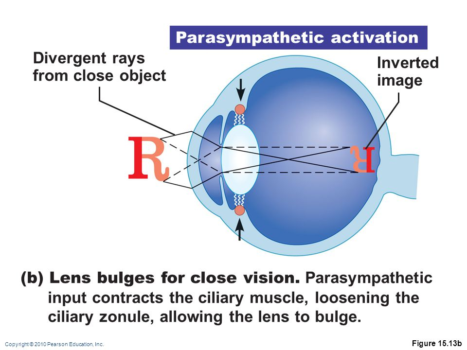 Copyright © 2010 Pearson Education, Inc. Figure 15.13b Divergent rays from close object (b) Lens bulges for close vision. Parasympathetic input contra