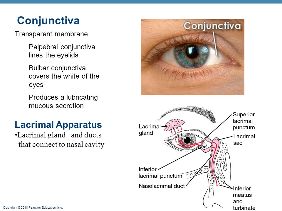 Copyright © 2010 Pearson Education, Inc. Conjunctiva Transparent membrane Palpebral conjunctiva lines the eyelids Bulbar conjunctiva covers the white