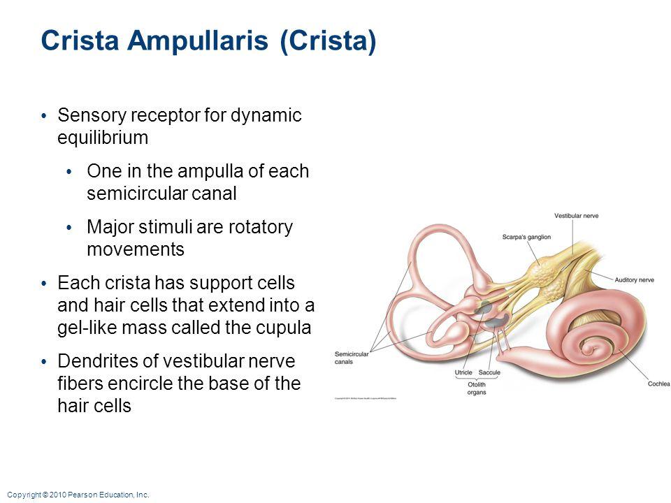 Copyright © 2010 Pearson Education, Inc. Crista Ampullaris (Crista) Sensory receptor for dynamic equilibrium One in the ampulla of each semicircular c
