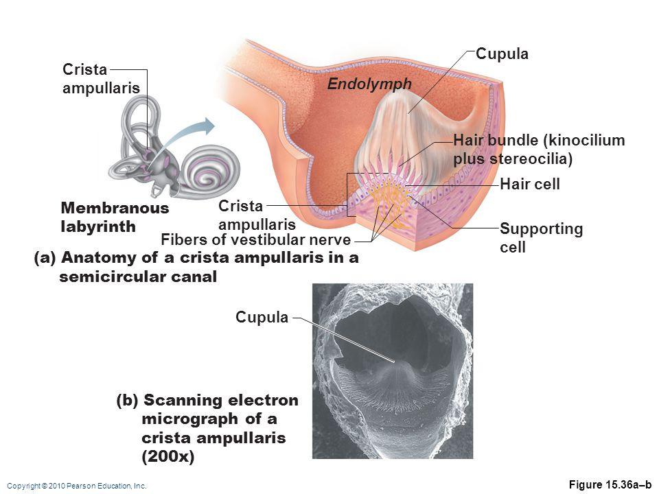 Copyright © 2010 Pearson Education, Inc. Figure 15.36a–b Fibers of vestibular nerve Hair bundle (kinocilium plus stereocilia) Hair cell Supporting cel