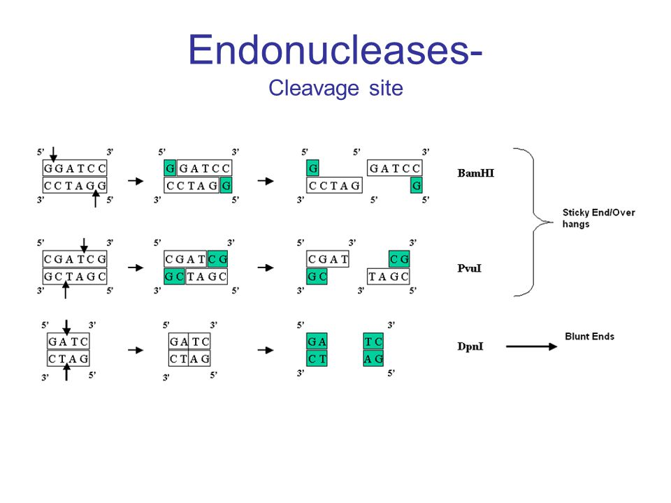 Endonucleases Applications Allow specific cutting and removal of genes from a complex molecule of DNA.