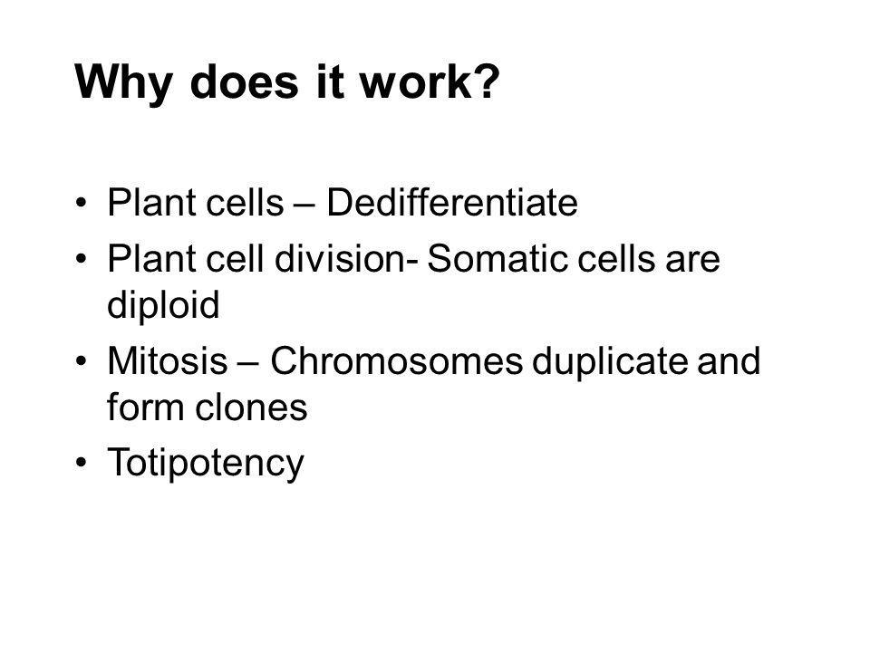 Why does it work? Plant cells – Dedifferentiate Plant cell division- Somatic cells are diploid Mitosis – Chromosomes duplicate and form clones Totipot