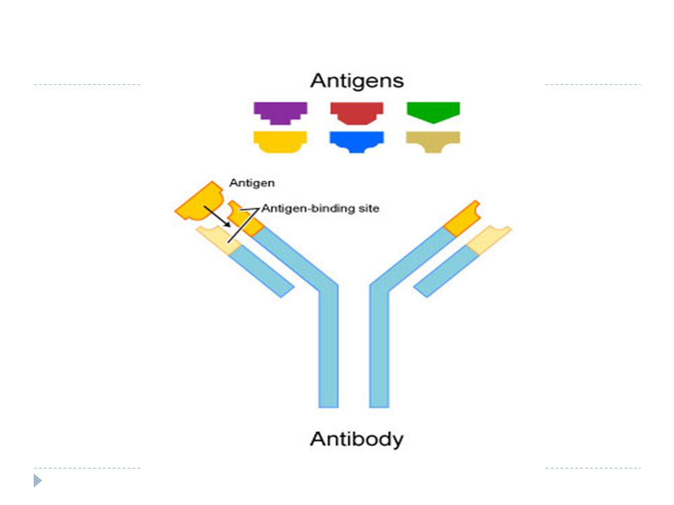 Antibody Production Specific antibodies are produced by injecting an antigen into a mammal, such as a mouse, rat or rabbit for small quantities of antibody, or goat, sheep, or horse for large quantities of antibody.