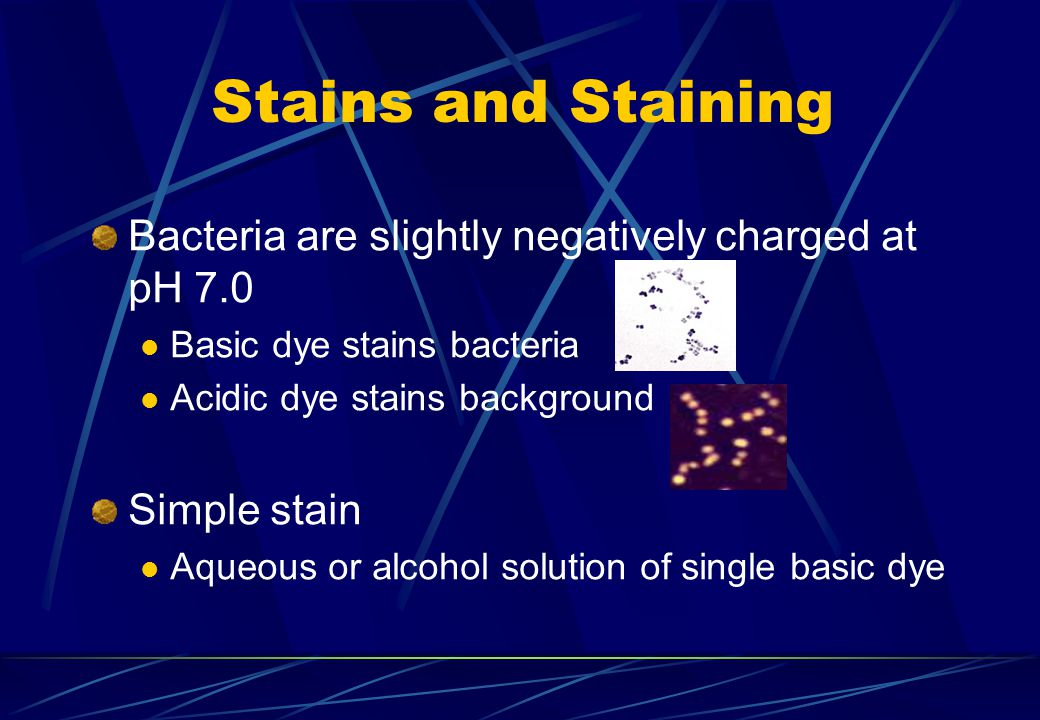 Stains and Staining Bacteria are slightly negatively charged at pH 7.0 Basic dye stains bacteria Acidic dye stains background Simple stain Aqueous or