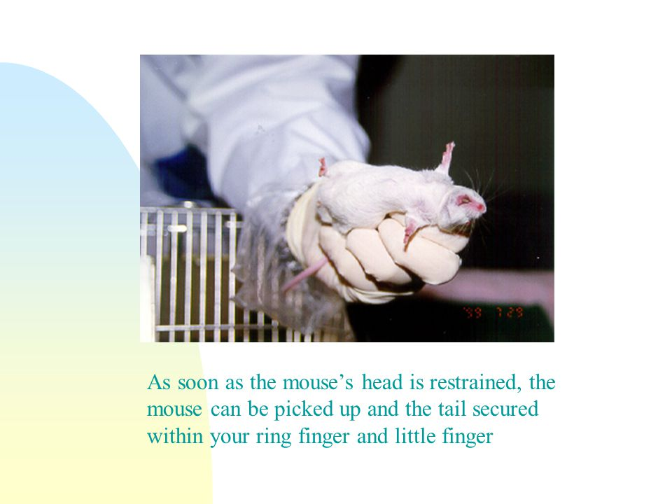 As soon as the mouses head is restrained, the mouse can be picked up and the tail secured within your ring finger and little finger