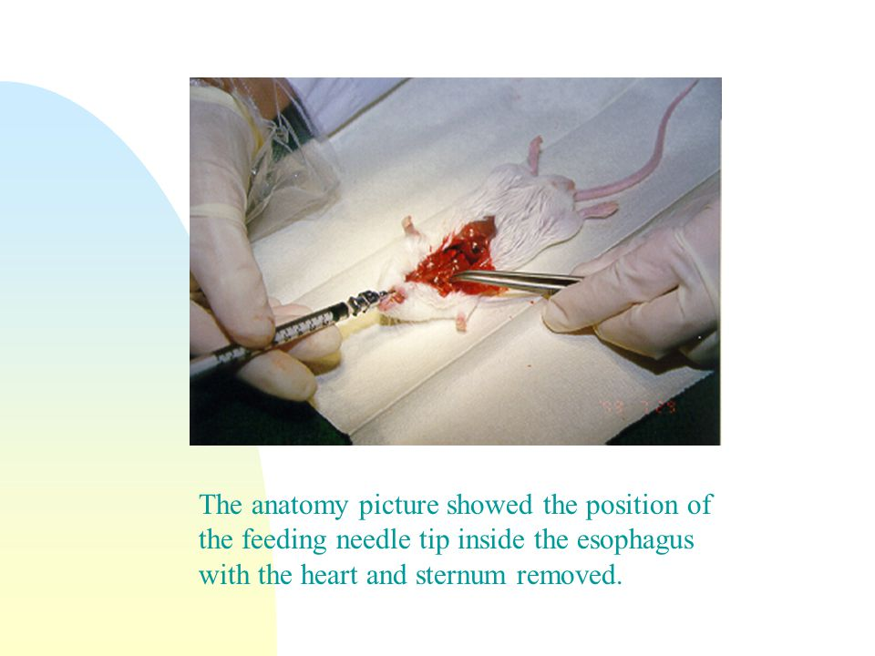 The anatomy picture showed the position of the feeding needle tip inside the esophagus with the heart and sternum removed.