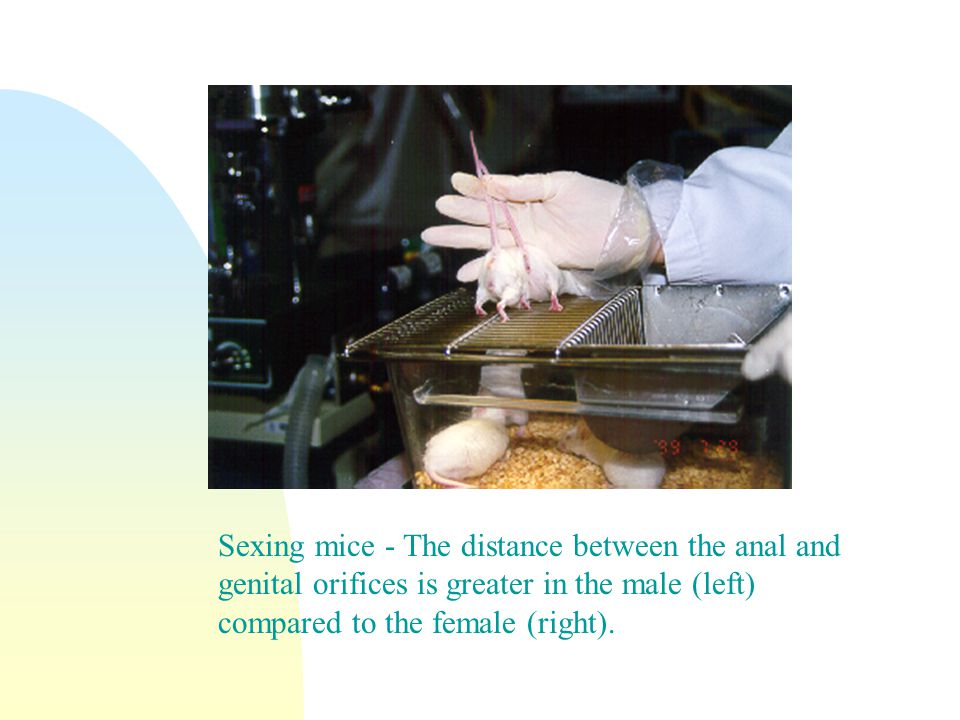 Sexing mice - The distance between the anal and genital orifices is greater in the male (left) compared to the female (right).