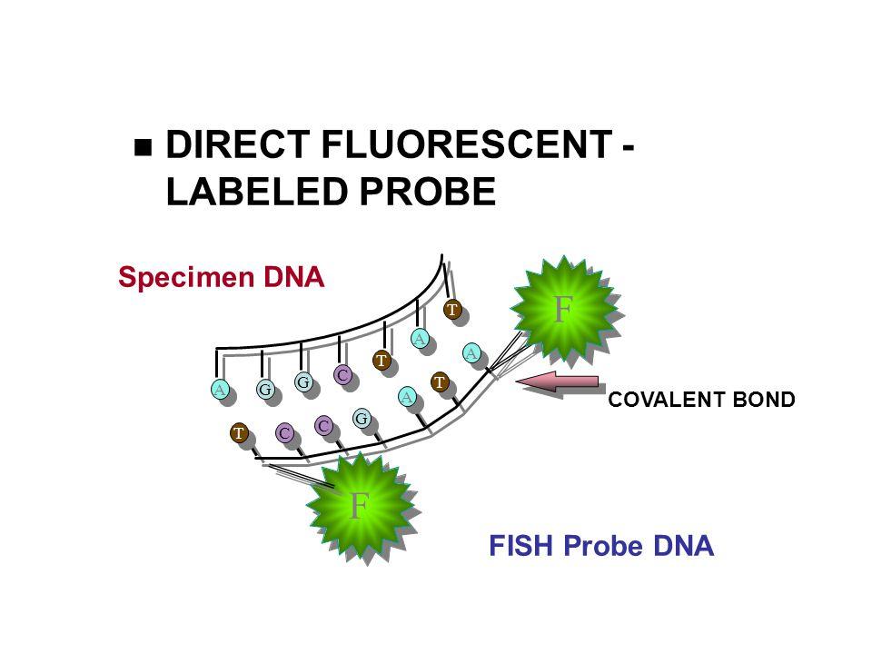 DIRECT FLUORESCENT - LABELED PROBE A A G G G G C C T T A A T T T T C C C C G G A A T T A A COVALENT BOND F F F F Specimen DNA FISH Probe DNA