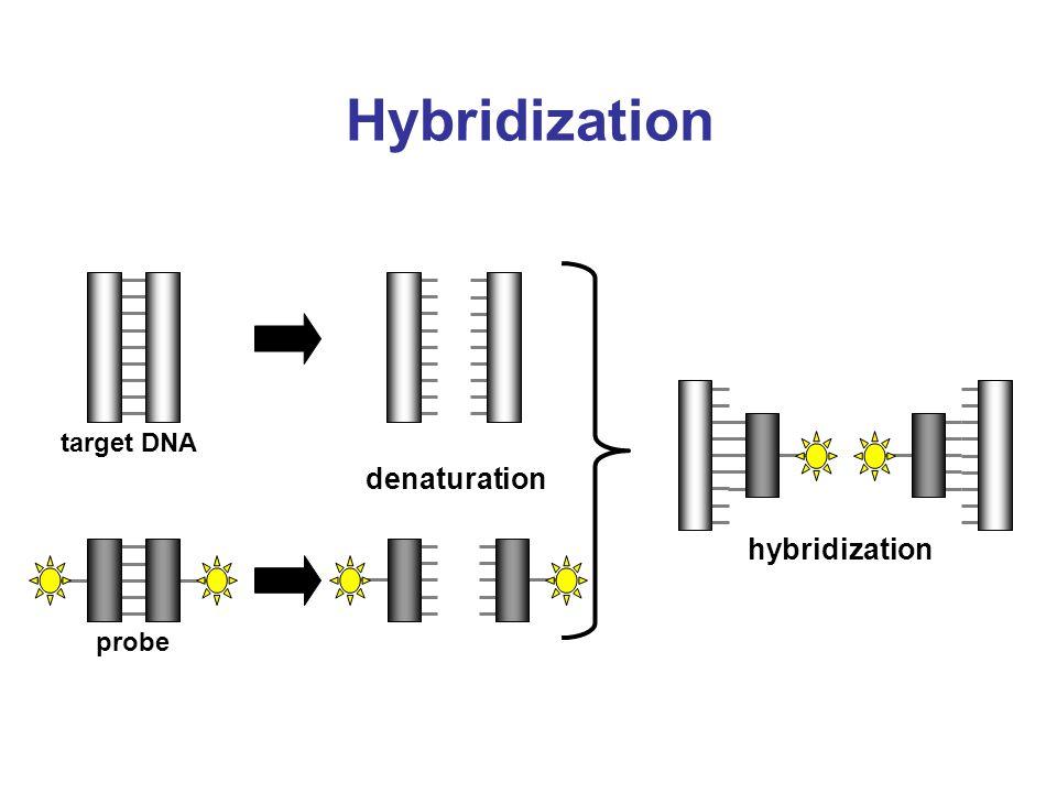 Hybridization target DNA probe denaturation hybridization