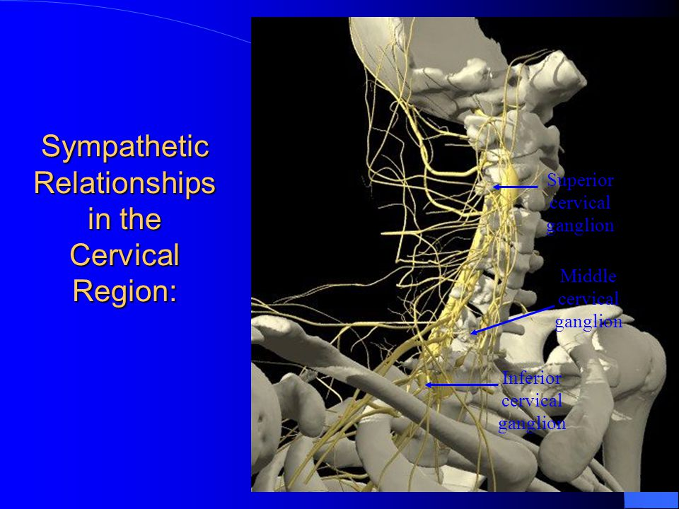 Sympathetic Relationships in the Cervical Region: Superior cervical ganglion Inferior cervical ganglion Middle cervical ganglion