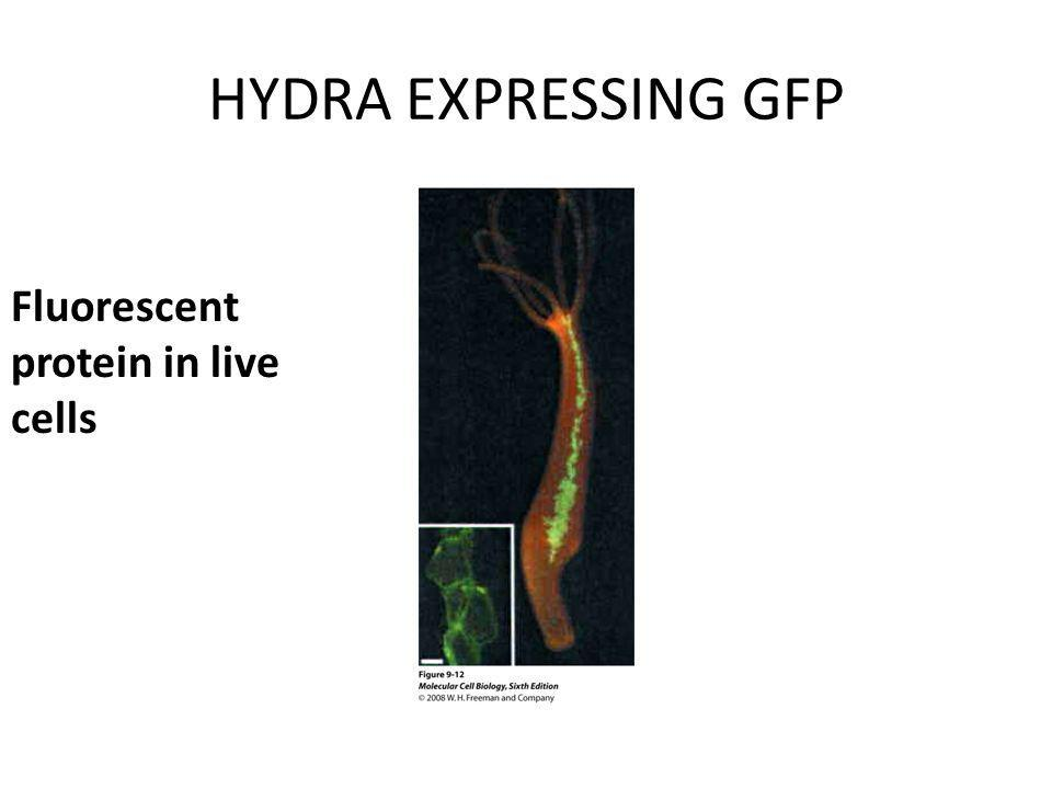 HYDRA EXPRESSING GFP Fluorescent protein in live cells