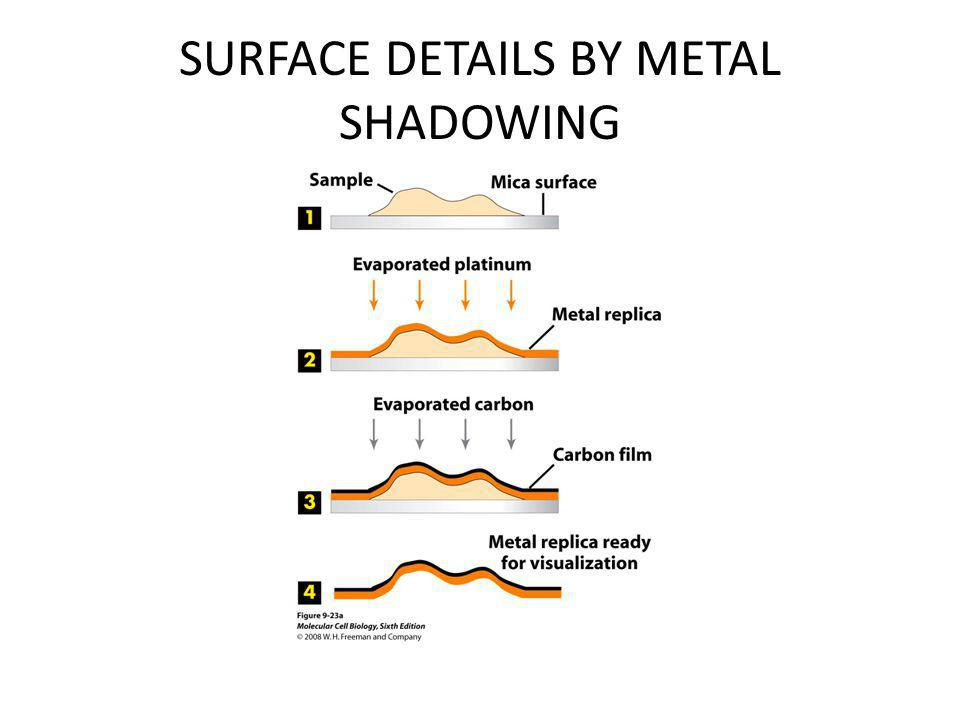 SURFACE DETAILS BY METAL SHADOWING