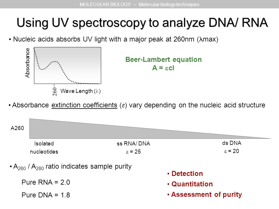 Using UV spectroscopy to analyze DNA/ RNA Nucleic acids absorbs UV light with a major peak at 260nm ( max) Absorbance Wave Length ( ) 260 MOLECULAR BI