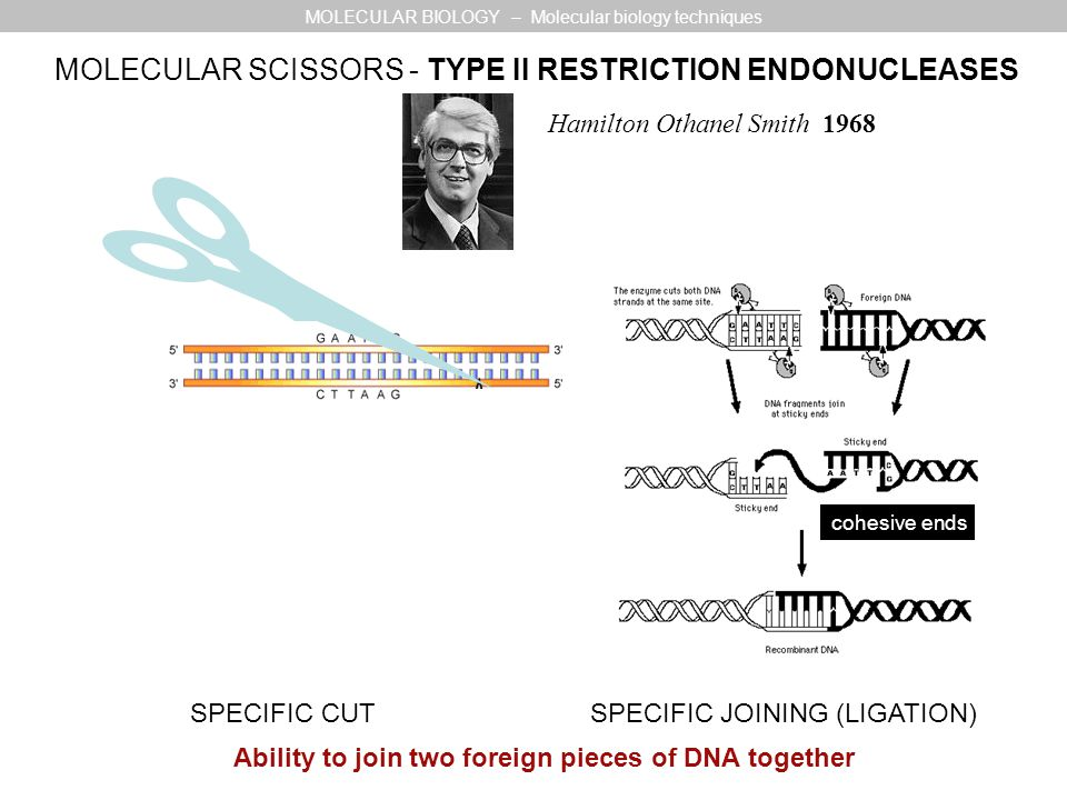 MOLECULAR SCISSORS - TYPE II RESTRICTION ENDONUCLEASES Hamilton Othanel Smith 1968 cohesive ends MOLECULAR BIOLOGY – Molecular biology techniques SPEC
