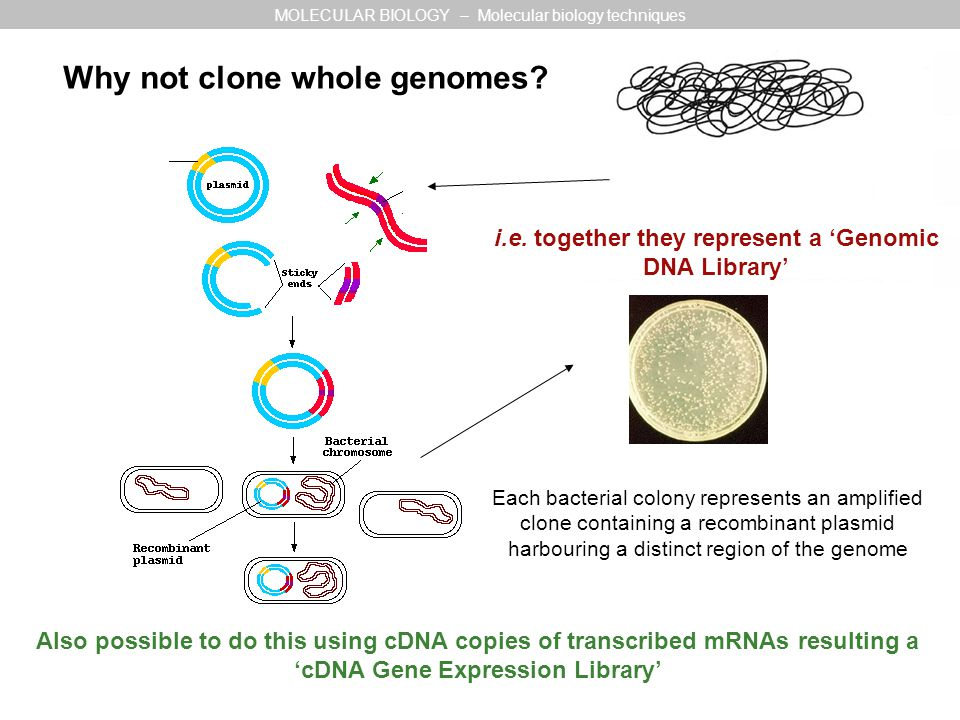 3 Why not clone whole genomes? MOLECULAR BIOLOGY – Molecular biology techniques Each bacterial colony represents an amplified clone containing a recom