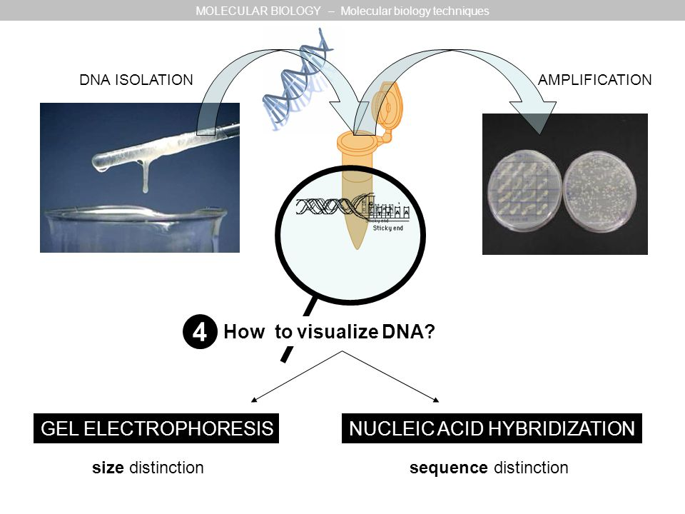 DNA ISOLATION AMPLIFICATION How to visualize DNA? GEL ELECTROPHORESISNUCLEIC ACID HYBRIDIZATION size distinction sequence distinction MOLECULAR BIOLOG