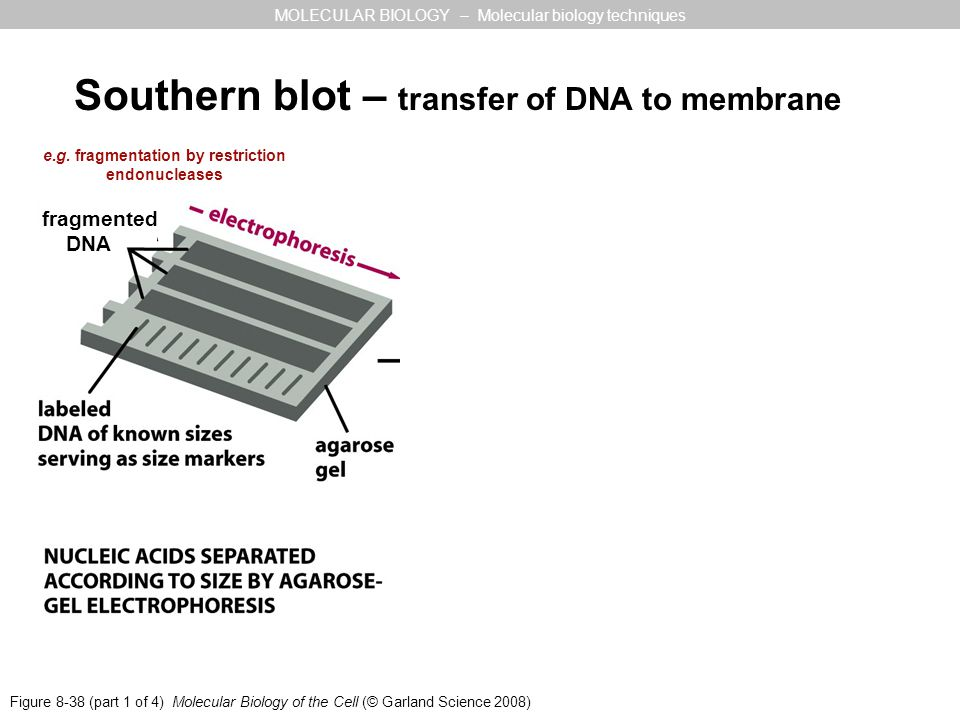 Figure 8-38 (part 1 of 4) Molecular Biology of the Cell (© Garland Science 2008) MOLECULAR BIOLOGY – Molecular biology techniques Southern blot – tran
