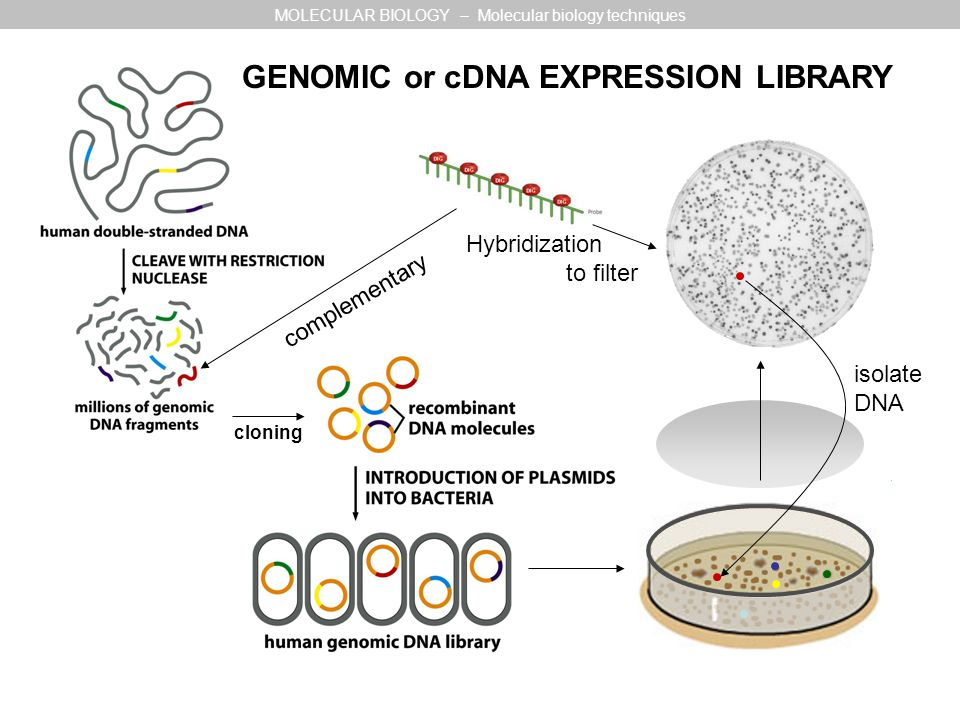 Hybridization to filter complementary cloning GENOMIC or cDNA EXPRESSION LIBRARY MOLECULAR BIOLOGY – Molecular biology techniques isolate DNA