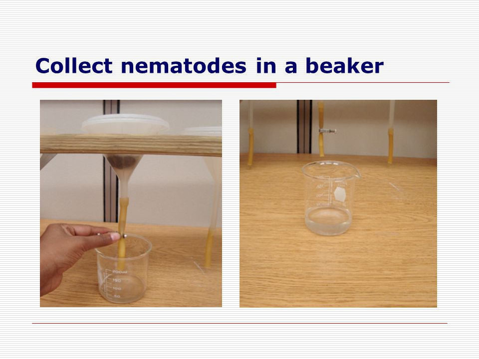 Collect nematodes in a beaker