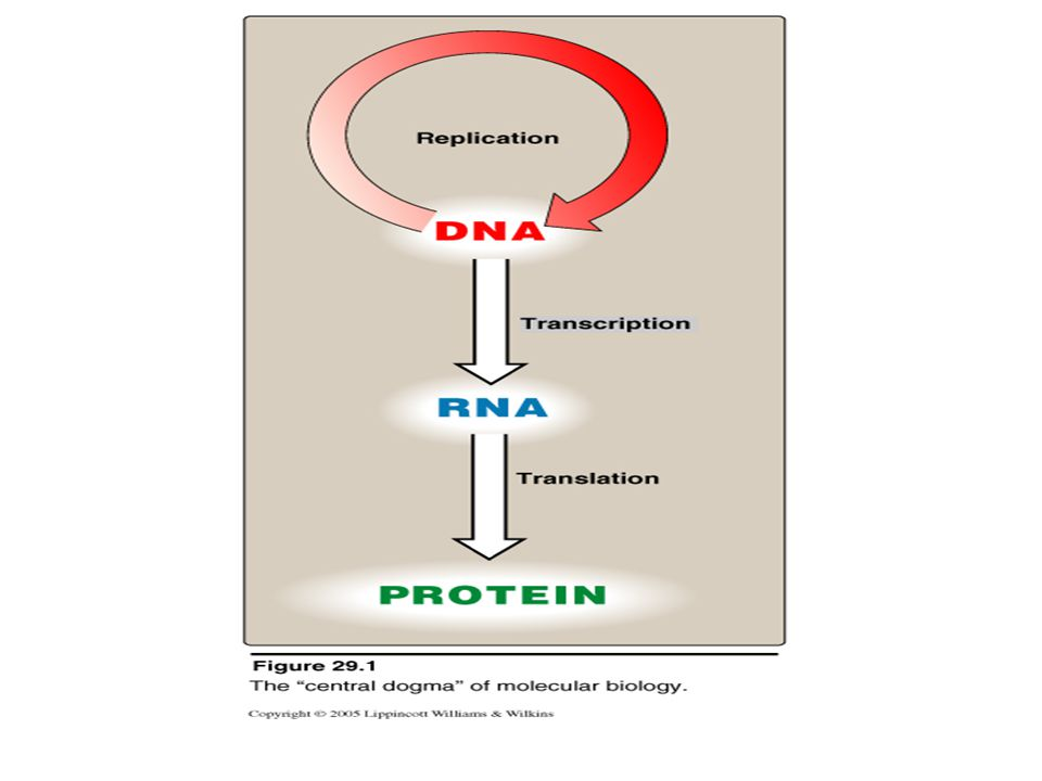 Applications Study of gene expression in eukaryotic cells: To measure the amount & size of RNAs transcribed from eukaryotic genes To estimate the abundance of RNAs Therefore, it is crucially important to equalize the amounts of RNA loaded into lanes of gels Dr.