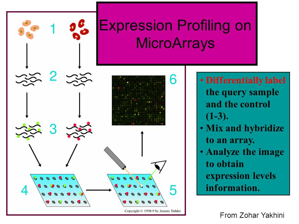 Expression Profiling on MicroArrays Differentially label the query sample and the control (1-3). Mix and hybridize to an array. Analyze the image to o