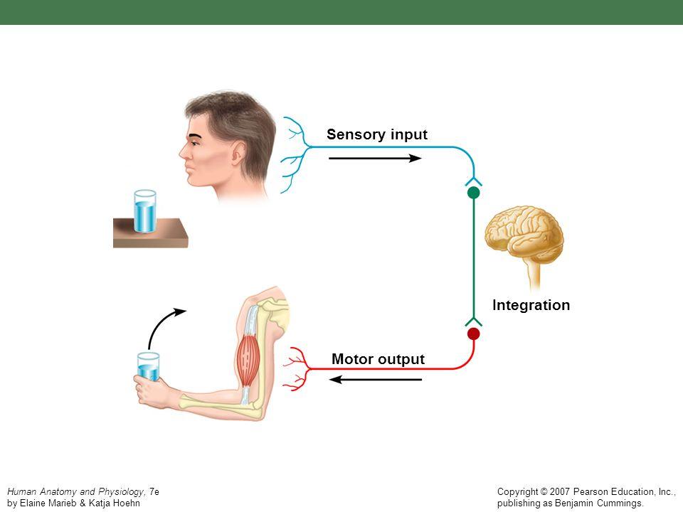 Human Anatomy and Physiology, 7e by Elaine Marieb & Katja Hoehn Copyright © 2007 Pearson Education, Inc., publishing as Benjamin Cummings. Sensory inp