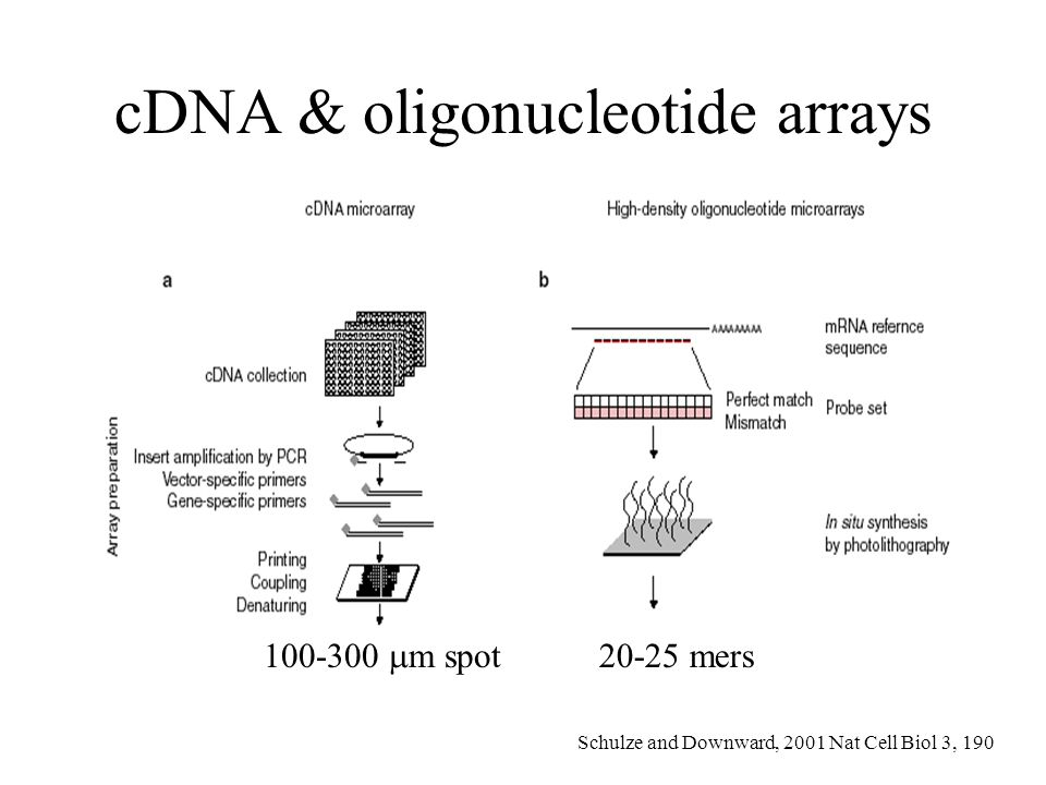 cDNA & oligonucleotide arrays 100-300 m spot 20-25 mers Schulze and Downward, 2001 Nat Cell Biol 3, 190