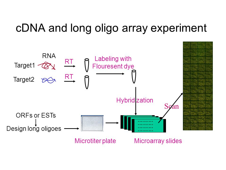 Target2 Target1 RNA RT Labeling with Flouresent dye ORFs or ESTs Design long oligoes Microtiter plateMicroarray slides Hybridization Scan cDNA and long oligo array experiment