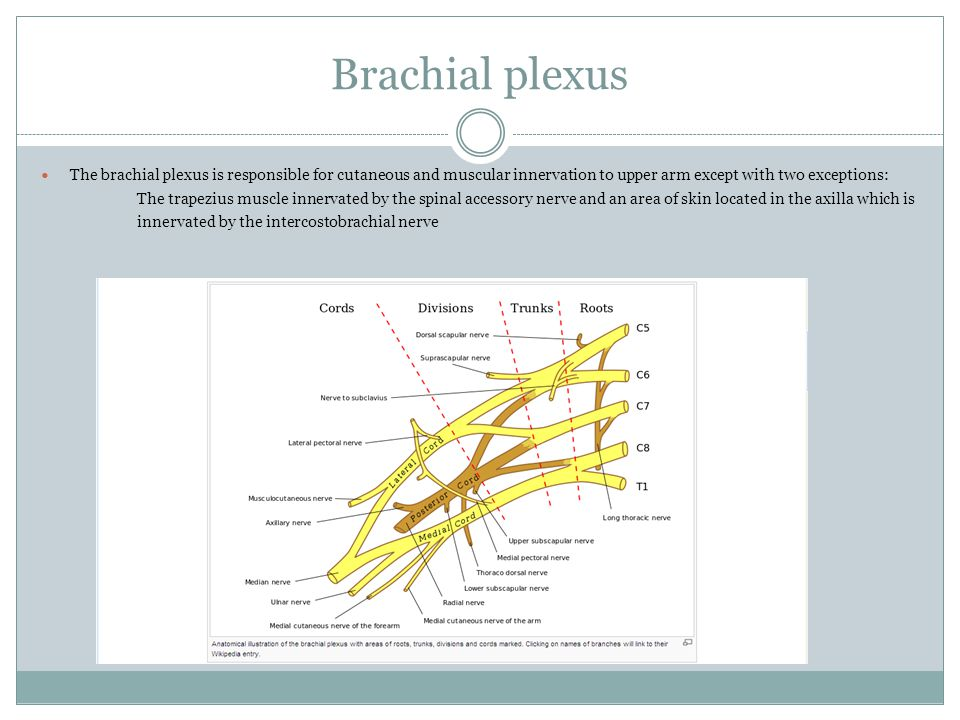 Brachial plexus The brachial plexus is responsible for cutaneous and muscular innervation to upper arm except with two exceptions: The trapezius muscl