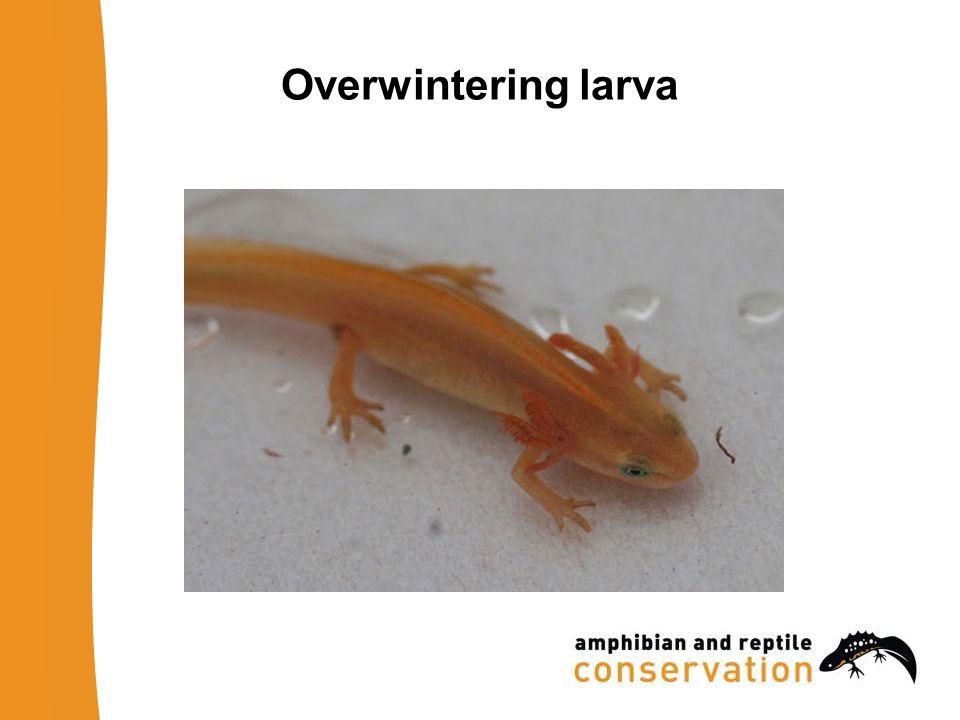 Overwintering larva